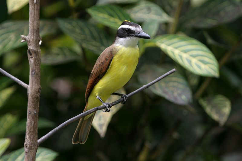 Broad Billed Flycatcher Broad-billed_flycatcher by