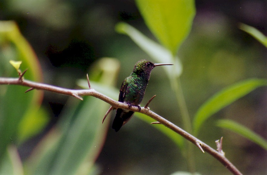 copper rumped hummingbird trinidad