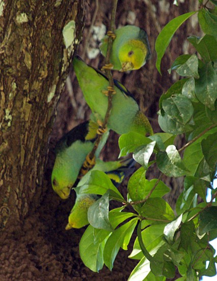 lilac-tailed parrotlet jdw.jpg (350685 bytes)