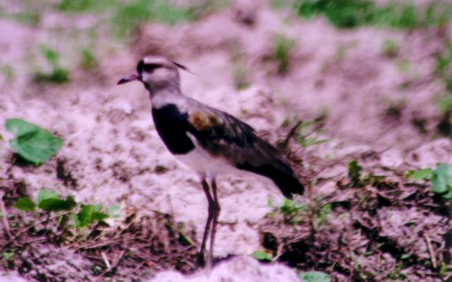 Southern Lapwing Photographs And Descriptions From